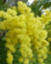 mimosa-949834_640.jpg