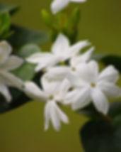 jasmine-181981_640.jpg