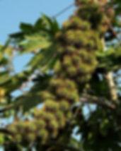 castor-berries-1167253-639x902.jpg