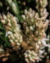 rajanigandha-flower-915203_640.jpg