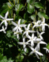 jasmine-719973_640.jpg