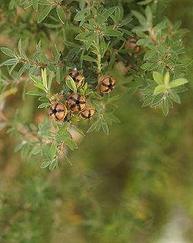 tea-tree-426543_640.jpg