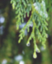cypress-1146366_640.jpg