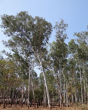 eucalyptus-forest-245072_640.jpg