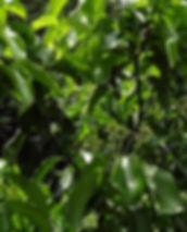 indian-bay-leaf-1707518_640.jpg