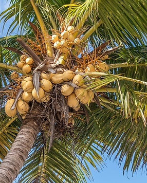 coconut-tree-coconuts-palm-tree-1832329.