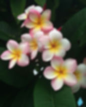 frangipani-677686_640.jpg