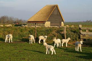 lammetjes-schapen-boet-de-krim-texel.jpg