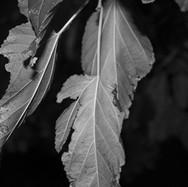 Leaves by Daniel Carley