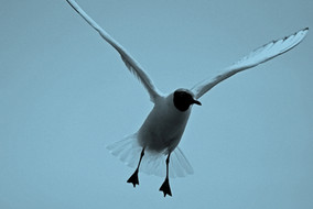 Headed gull