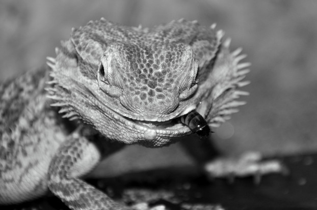 Bearded dragon is eating