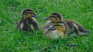 newborn ducklings.jpg