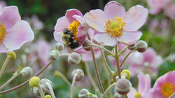 bee on pink flower.jpg