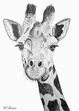 Giraffe real.jpg
