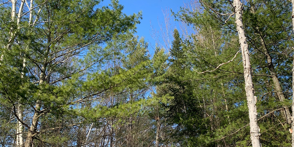 Whispering Pines, Murmuring Mycorhizae – Communication in the Forest