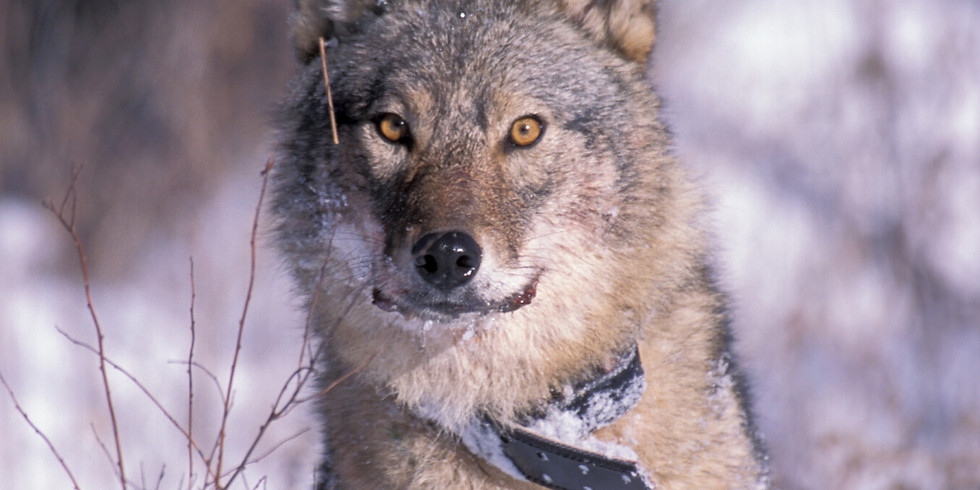 Wolves and Coyotes: Wild Dogs of the Kawarthas