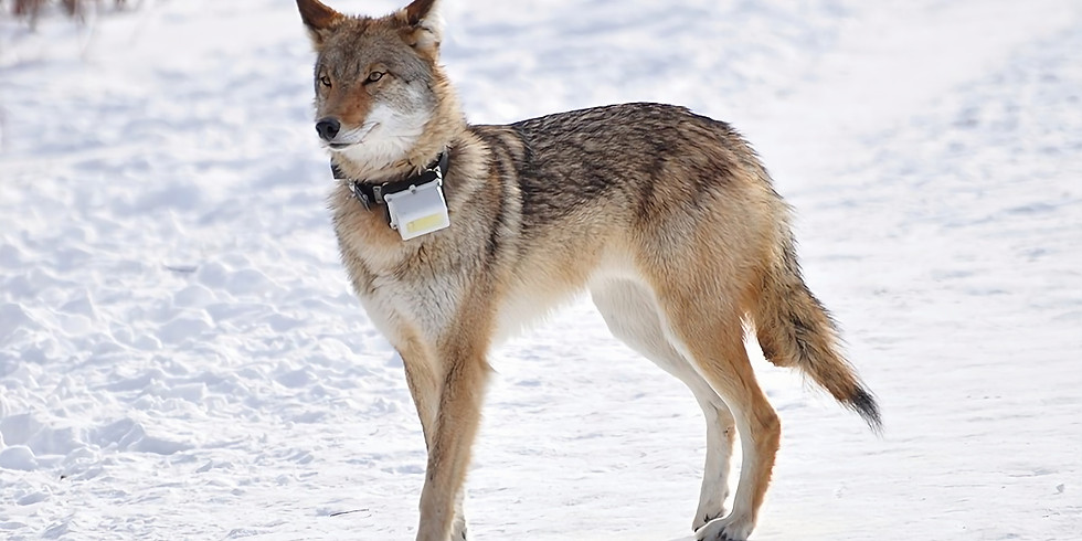 Wolves and Coyotes: the wild dogs of the Kawarthas