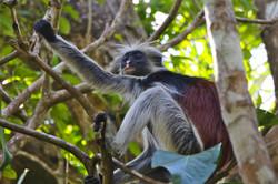 Red Colobus Monkey, Zanzibar, Africa