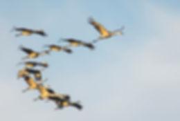 cranes_RandyBaum.jpg