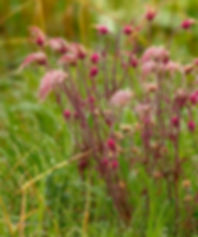 Mark Nicholson Prairie Smoke May.JPG