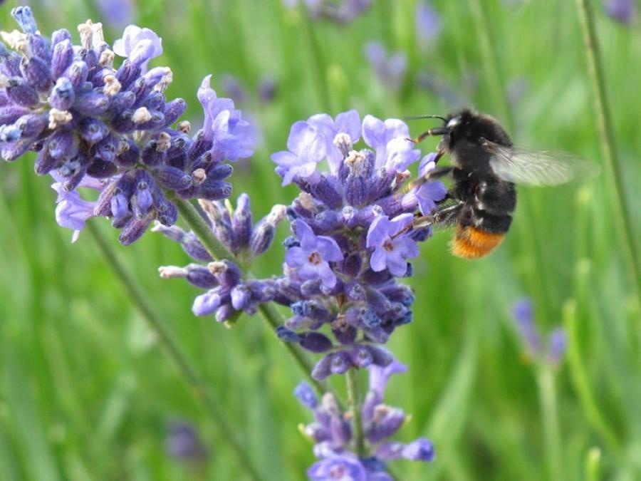 Lavendelblüte & Biene