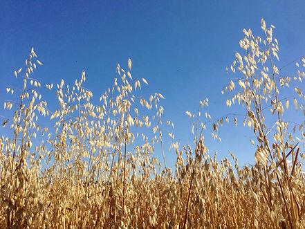 Barley close up.jpg