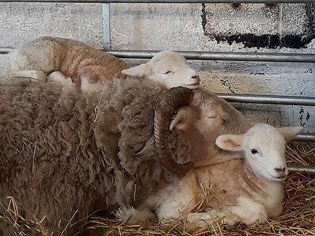 Lamb 2 copy.jpg