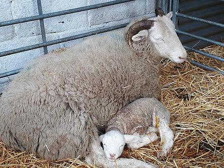 Lamb 1 copy.jpg