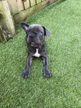 Blue Silver French Bulldog