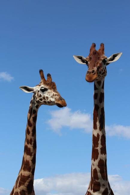 Giraffe Friends