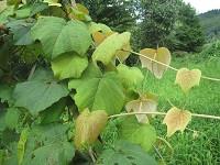 ヤマブドウの若芽