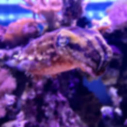 Cuttlefish coming to Bailey-Matthews National Shell Museum