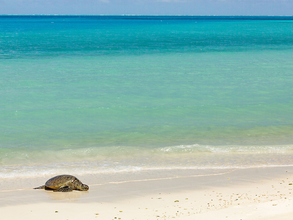 A green sea turtle rests on a white sand beach next to Midway's peaceful, turquoise lagoon