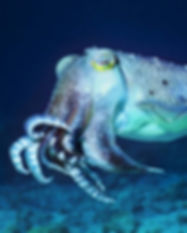 Cuttlefish for donate page.jpg