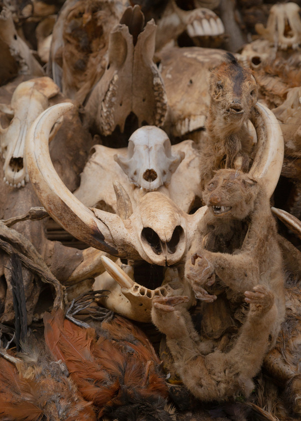 The skull of a big warthog together with other skulls and dried birds and small mammals on a sand of the market.
