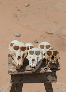 The skulls of some baboons and other species of monkey.
