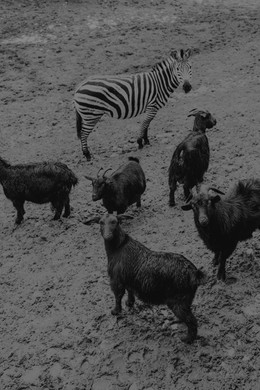 A zebra and five goats in the zoo that has been destroyed by the flood.