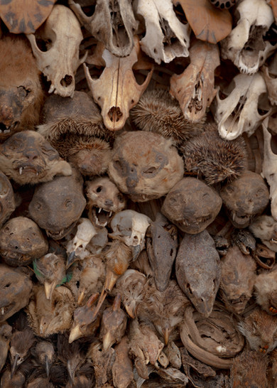 Dried lizards, birds, rodents and skulls of small mammals on a stand of the market.