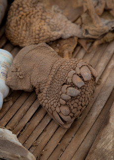The leg of a giant tortoise. Tortoise shells and legs are ground into powder and used to make medications for asthma.