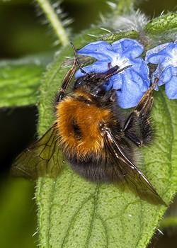 Tree Bumblebee (Bombus hypnorum)2