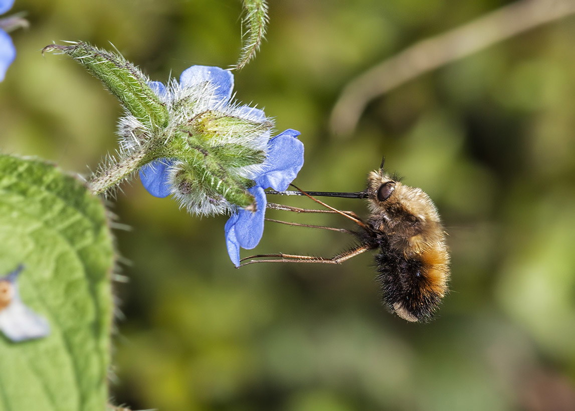 Dotted Bee-fly (Bombylius discolor)2