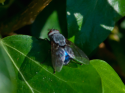 Bluebottle (Calliphora sp)