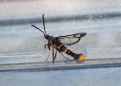 orange-tailed clearwing (Synanthedon