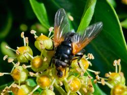 Muscid Fly (Mesembrina meridiana)