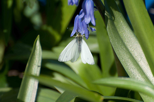 Green-veined Whte on Bluebell_0033