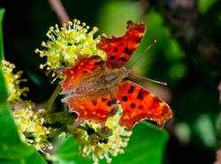 IComma Butterfly
