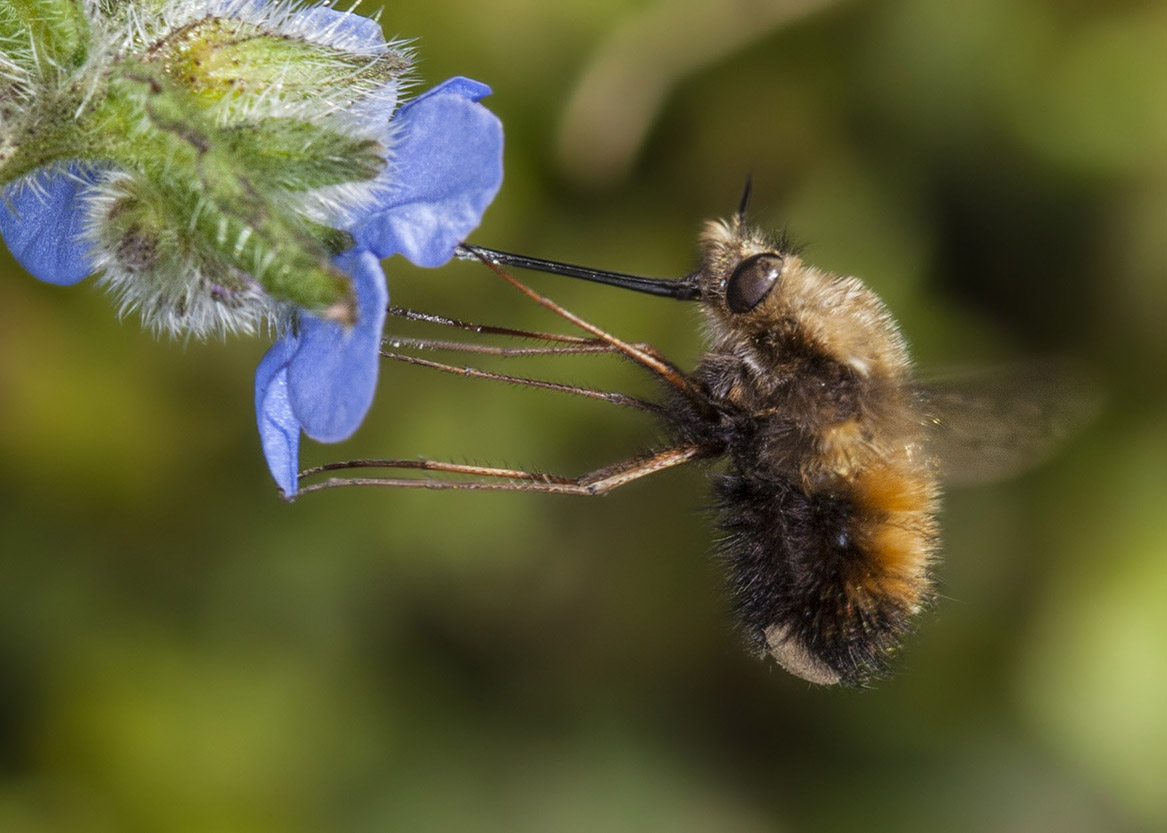 Dotted Bee-fly (Bombylius discolor)3