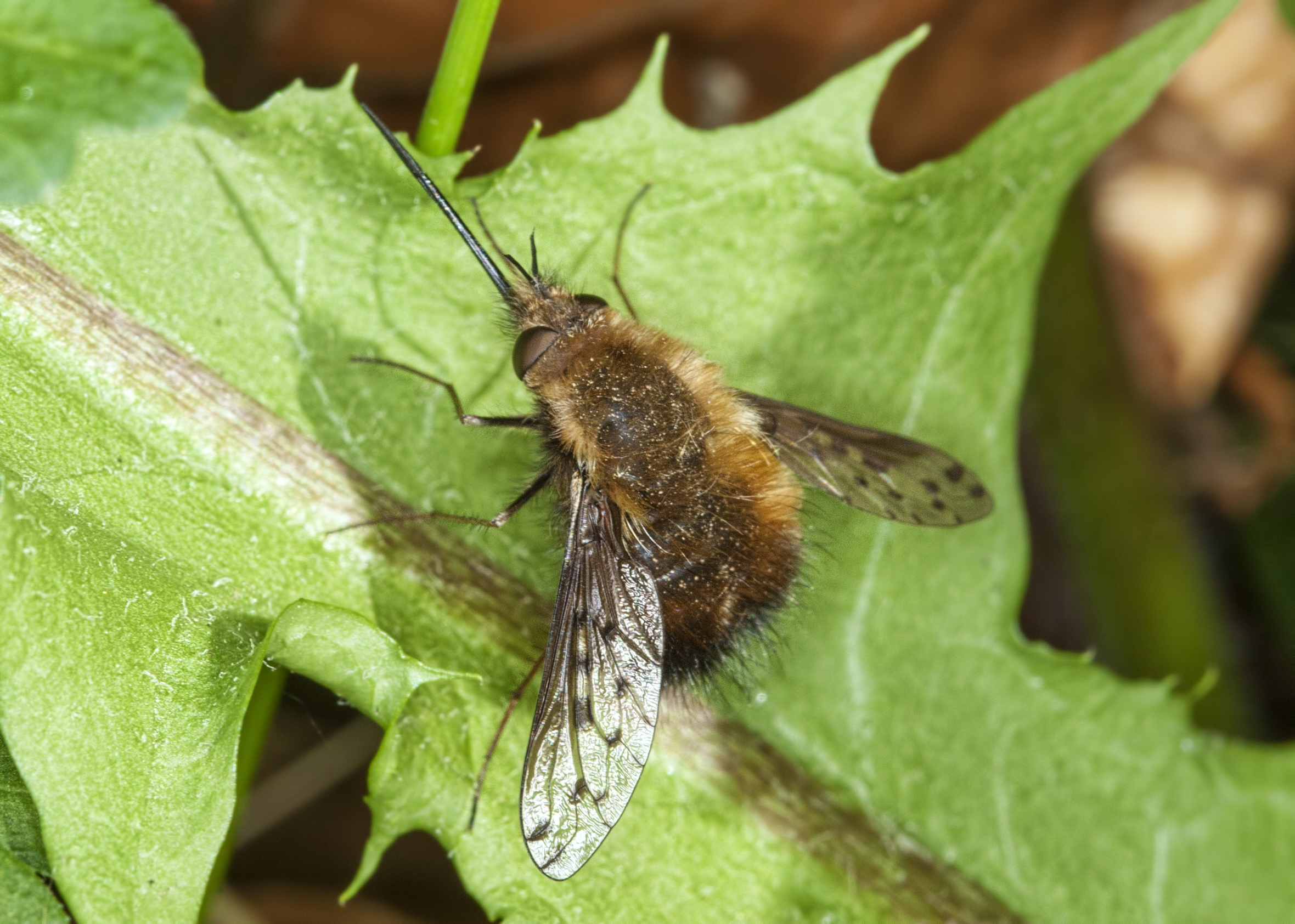 Dotted Bee-fly (Bombylius discolor)