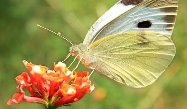 Butterfly-solar-energy-biomimicry-600x35