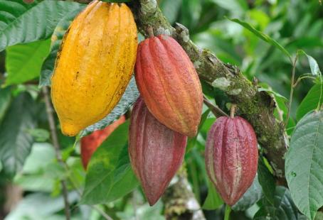 """Colombia participará con nueve muestras de cacao en la edición """"International Cocoa Awards"""" de 2021"""